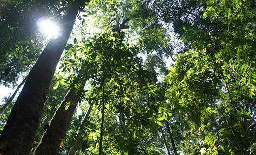 A seedling's view in the dipterocarp dominated sandstone hill forest in Kabili-Sepilok Forest